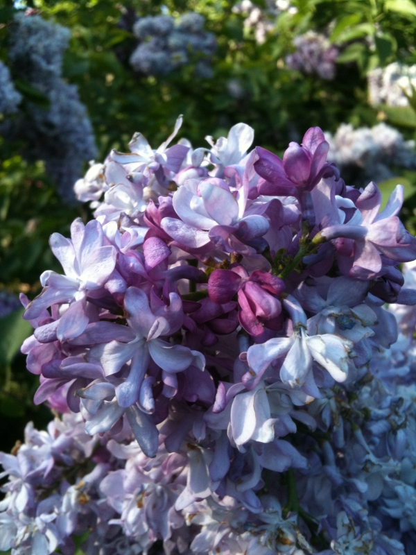 Purple Lilac Blossom iPhone 3GS Photo