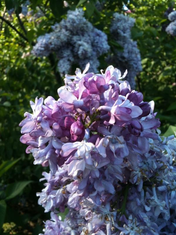 Purple Lilac at Brooklyn Botanical Gardens