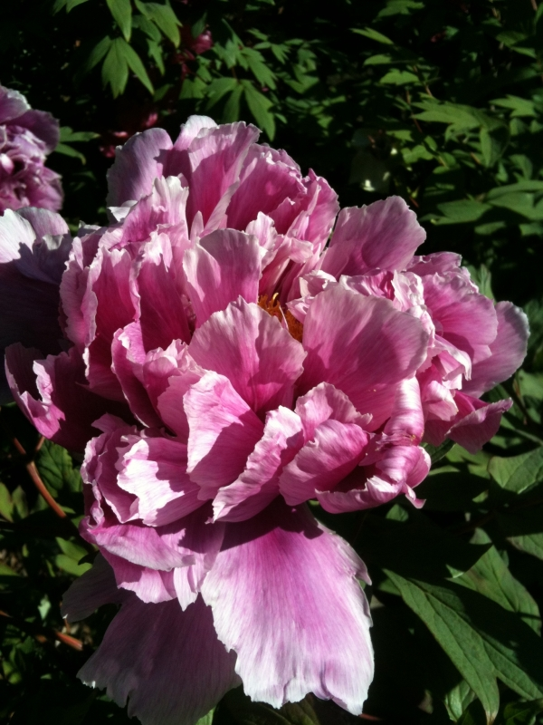 Pink Japanese Tree Peony At Brooklyn Botanical Gardens