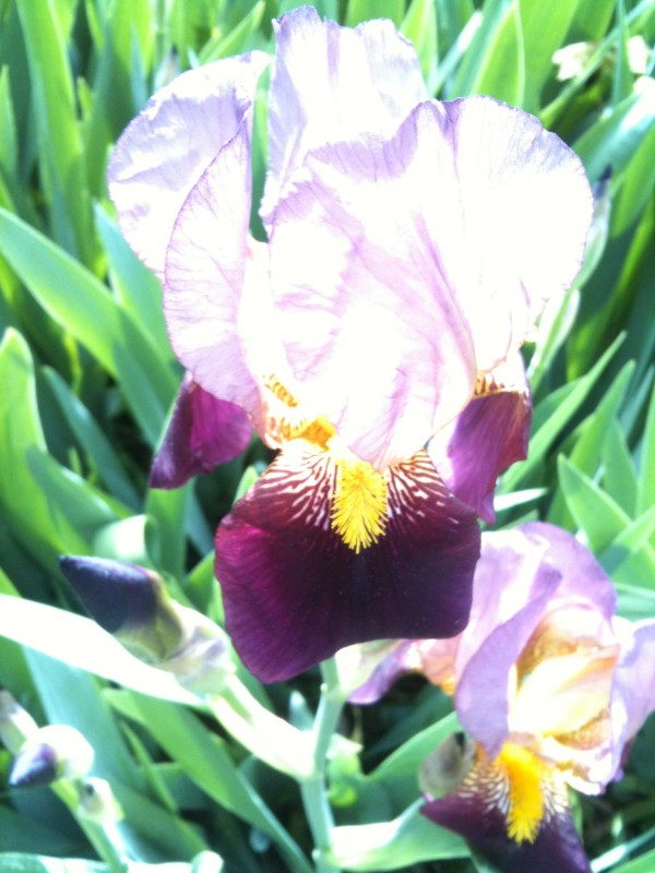 Sunwashed Purple Iris in Kingsbridge, Bronx, New York