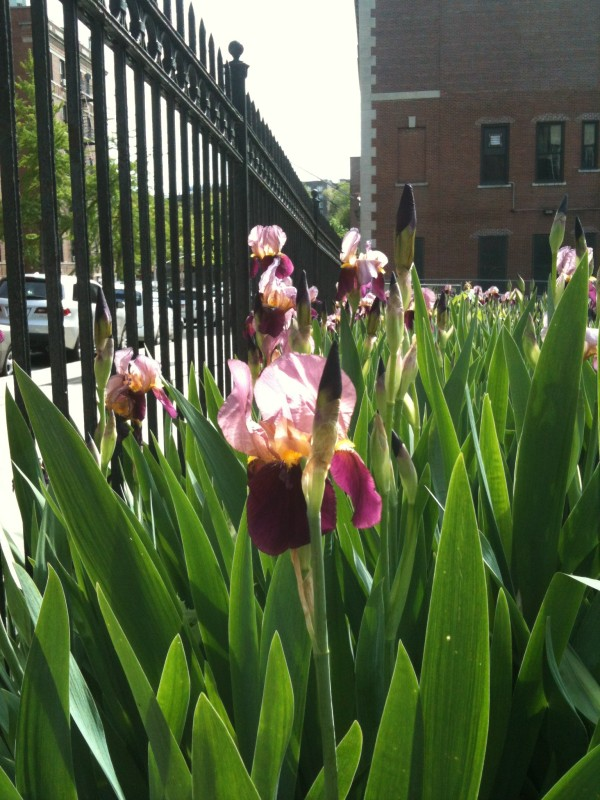 Field of Purple and Yellow Iris blooming in the Northwest Bronx