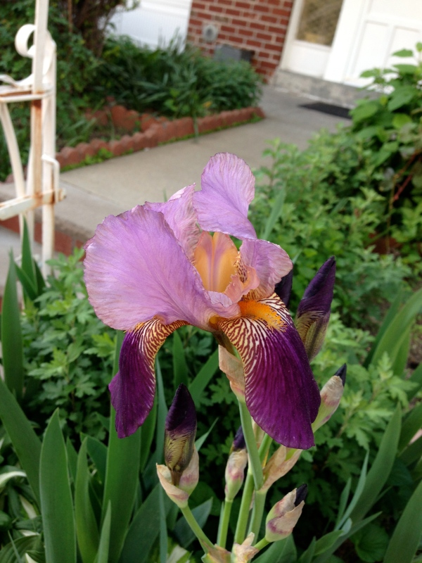 purple-iris-astoria-nyc