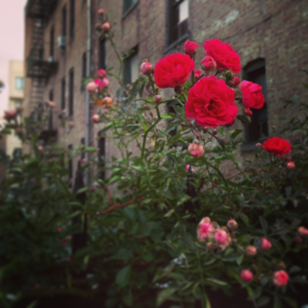 rose-blooming-in-astoria